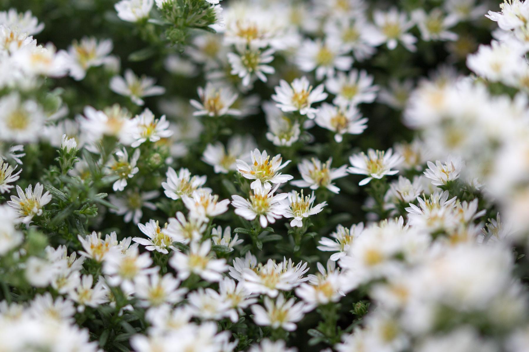 kleine blüten, borkum im nebel