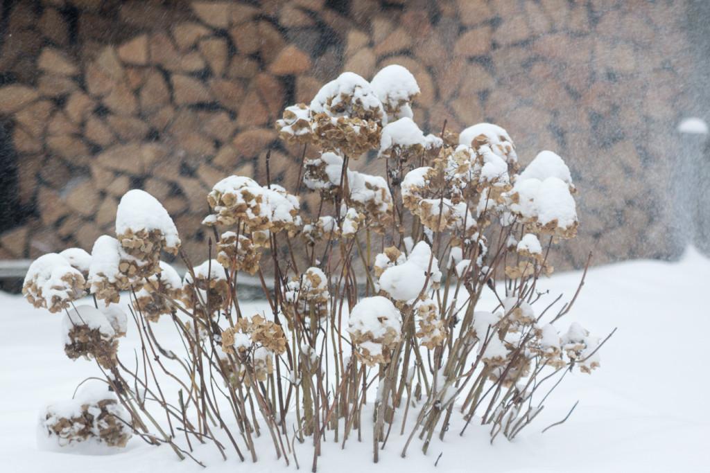 hortensie im schneegestöber