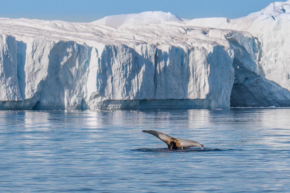 buckelwal abtauchend - grönland