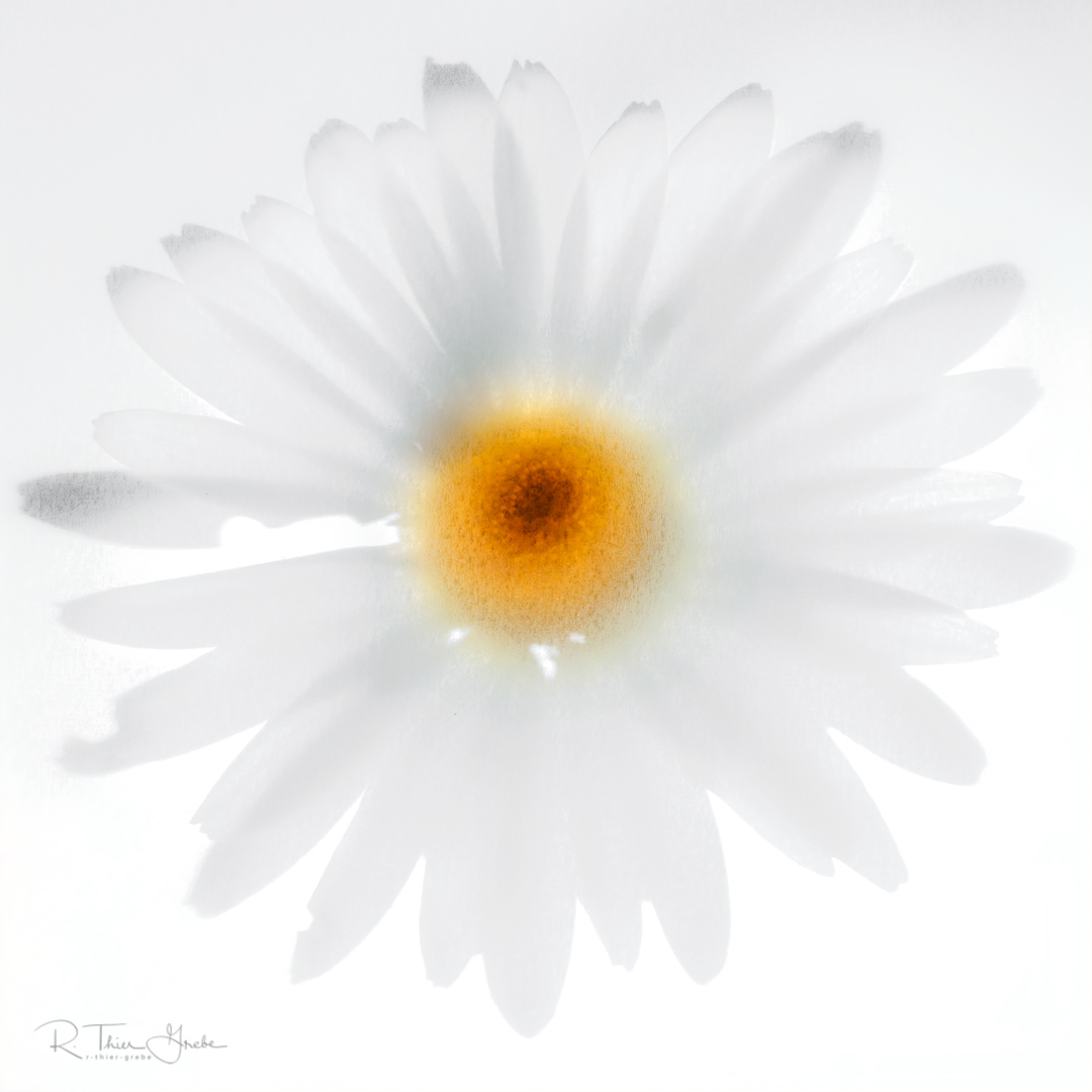 margerite - daisy - leucanthemum